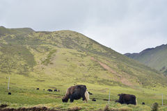 牦牛牛在西藏区域草甸 免版税库存照片