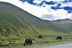 牦牛牛在西藏区域草甸 库存图片