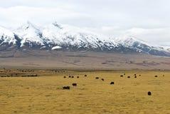 牦牛牧群在多雪的山前面的在云彩在西藏 库存图片