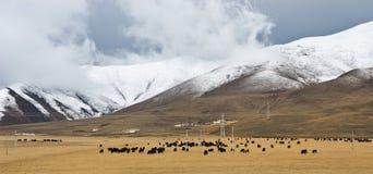 牦牛牧群在多雪的山前面的在西藏全景的云彩 免版税库存图片