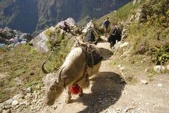 牦牛运载的装载在喜马拉雅山 免版税库存图片