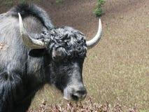 牦牛顶头画象 库存图片