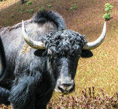 牦牛,喜马拉雅野生母牛不丹头  免版税库存照片