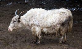 牦牛 在一个农场的一头大白色牦牛在西藏 库存照片