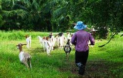 牧人是横跨路的成群的山羊 库存照片