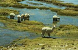 牧人的alpacas 库存图片