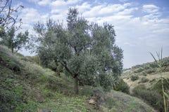 牧人透视射击了在小山的橄榄树在伊兹密尔在土耳其 免版税库存图片