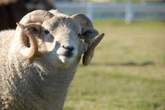牧场地公羊 免版税图库摄影