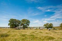 牧场地在埃斯特雷马杜拉,西班牙 许多橡树和蓝天 库存图片