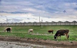 牧场地母牛 库存图片