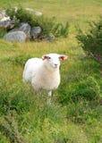 牧场地绵羊夏天 免版税库存图片