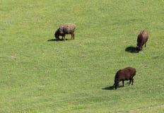 牧场地绵羊 库存照片