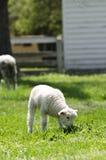 牧场地绵羊 免版税图库摄影