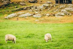 牧场地sheeps 挪威风景 免版税库存图片