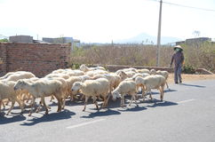 牧民移动食物的绵羊并且喝希望将有水 免版税库存图片