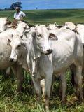 牧畜者 库存图片