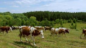 牧羊人从牧场地开车回家到母牛牧群沿一条多灰尘的乡下公路的 股票视频