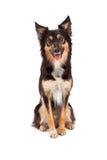 牧羊人和博德牧羊犬被混合的品种狗 免版税库存图片