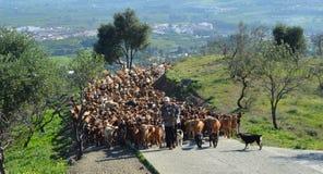 牧羊人和工作犬被带领的哺养在新鲜的牧场地更高小山的数百只山羊牧群, 免版税库存图片