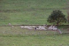 牧羊人和绵羊 免版税图库摄影