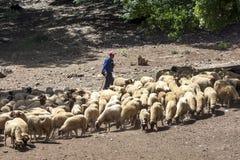 牧羊人在艾兹鲁附近吃草他的在山的绵羊在摩洛哥 图库摄影