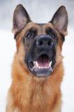 牧羊人坐户外在冬天的品种狗 免版税库存图片