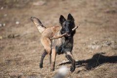 牧羊人小狗用棍子 库存图片