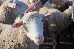 牧羊人爱抚 库存照片