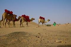 年轻牧羊人走与他的小组骆驼在迪拜,阿拉伯联合酋长国 免版税库存图片