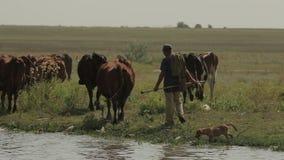 牧羊人追逐母牛 股票视频
