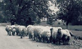牧羊人驾驶他的绵羊 免版税库存图片