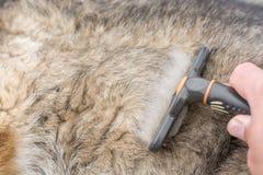 牧羊犬的毛皮通过修饰并且被梳得 免版税库存照片