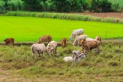 牧群。 免版税图库摄影