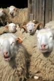 牧群休息的绵羊 免版税库存照片