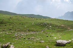 牧群在喜马拉雅山 免版税图库摄影