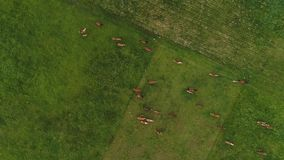 牧群在绿色领域的beatifull马顶上的寄生虫英尺长度  股票视频