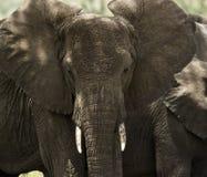 牧群大象,塞伦盖蒂,坦桑尼亚的特写镜头 图库摄影