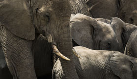牧群大象,塞伦盖蒂,坦桑尼亚的特写镜头 库存图片