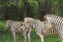 牧群斑马 免版税库存图片