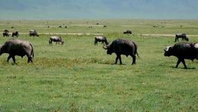牧群水牛城吃草在狂放的非洲大草原的牧场地的羚羊斑马 股票录像