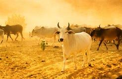 牧群牛 免版税图库摄影