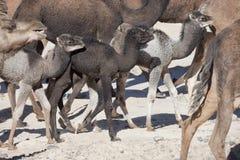 牧群独峰驼(骆驼)。 免版税库存照片