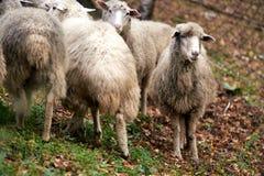 牧群绵羊 饲养的动物 冷秋天 免版税库存图片