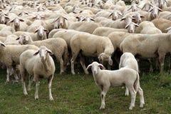 牧群绵羊 免版税图库摄影
