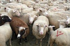 牧群绵羊 库存图片