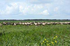 牧群通配马的konik 库存照片