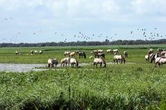 牧群通配马的konik 免版税库存图片