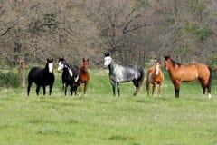 牧群马 免版税图库摄影