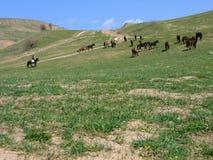 牧群马 免版税库存图片