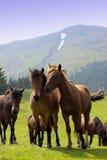 牧群马 免版税库存照片